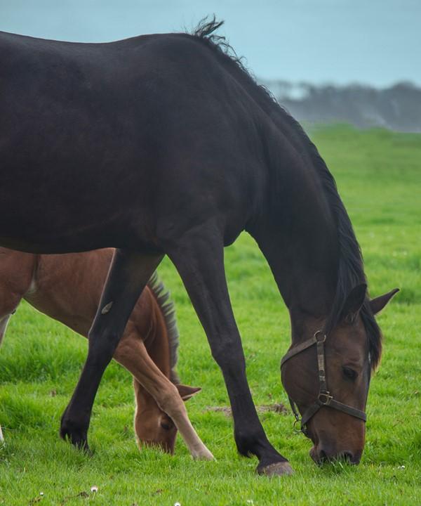 Moeder nadoen of....leert moeder het veulen gras eten.